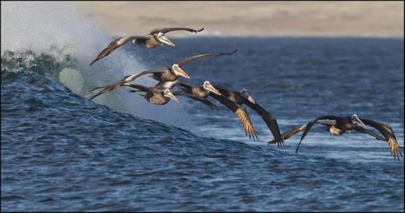 Pelicans surfing